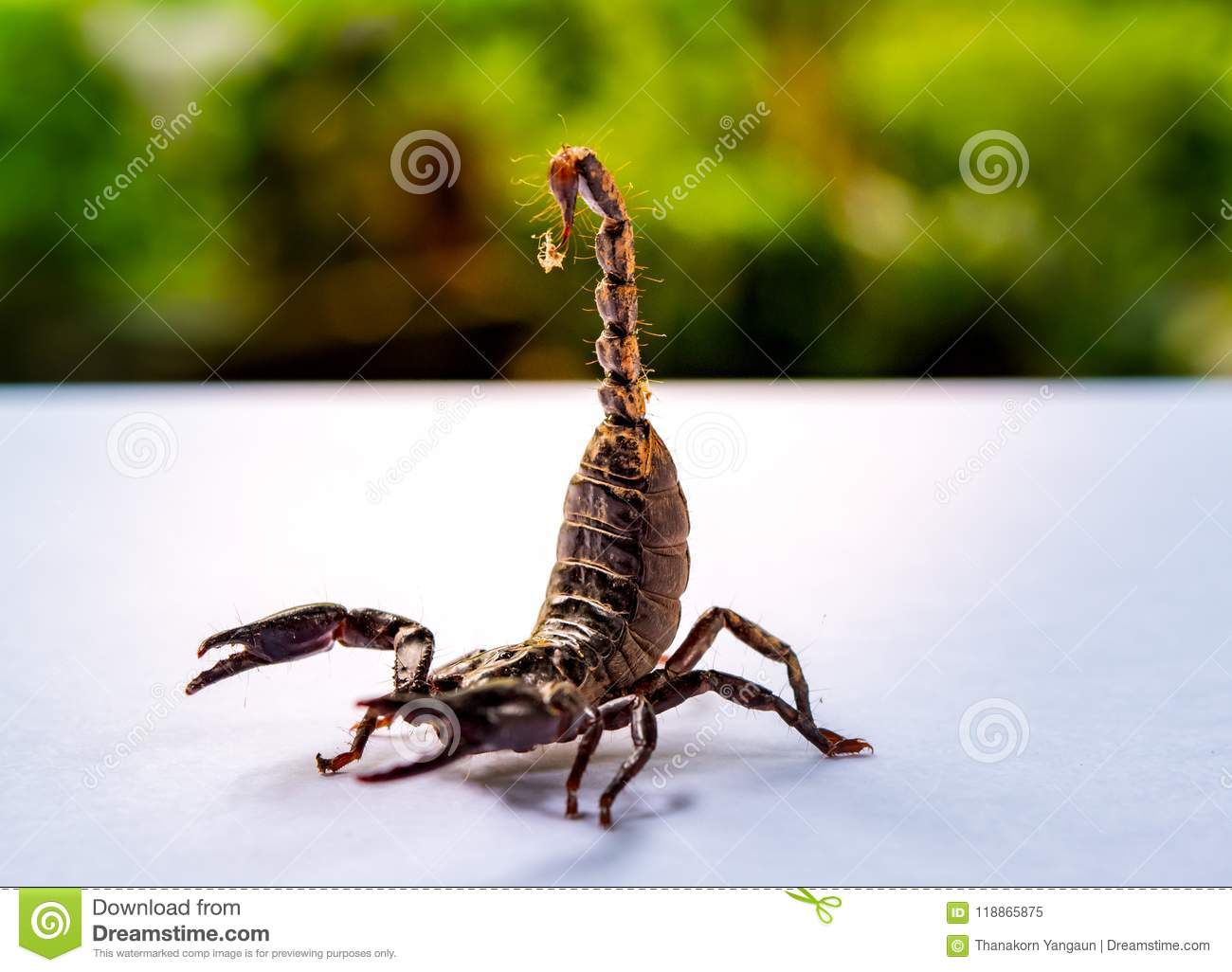 Baby Giant Forest Scorpions Prepared To Fighting And