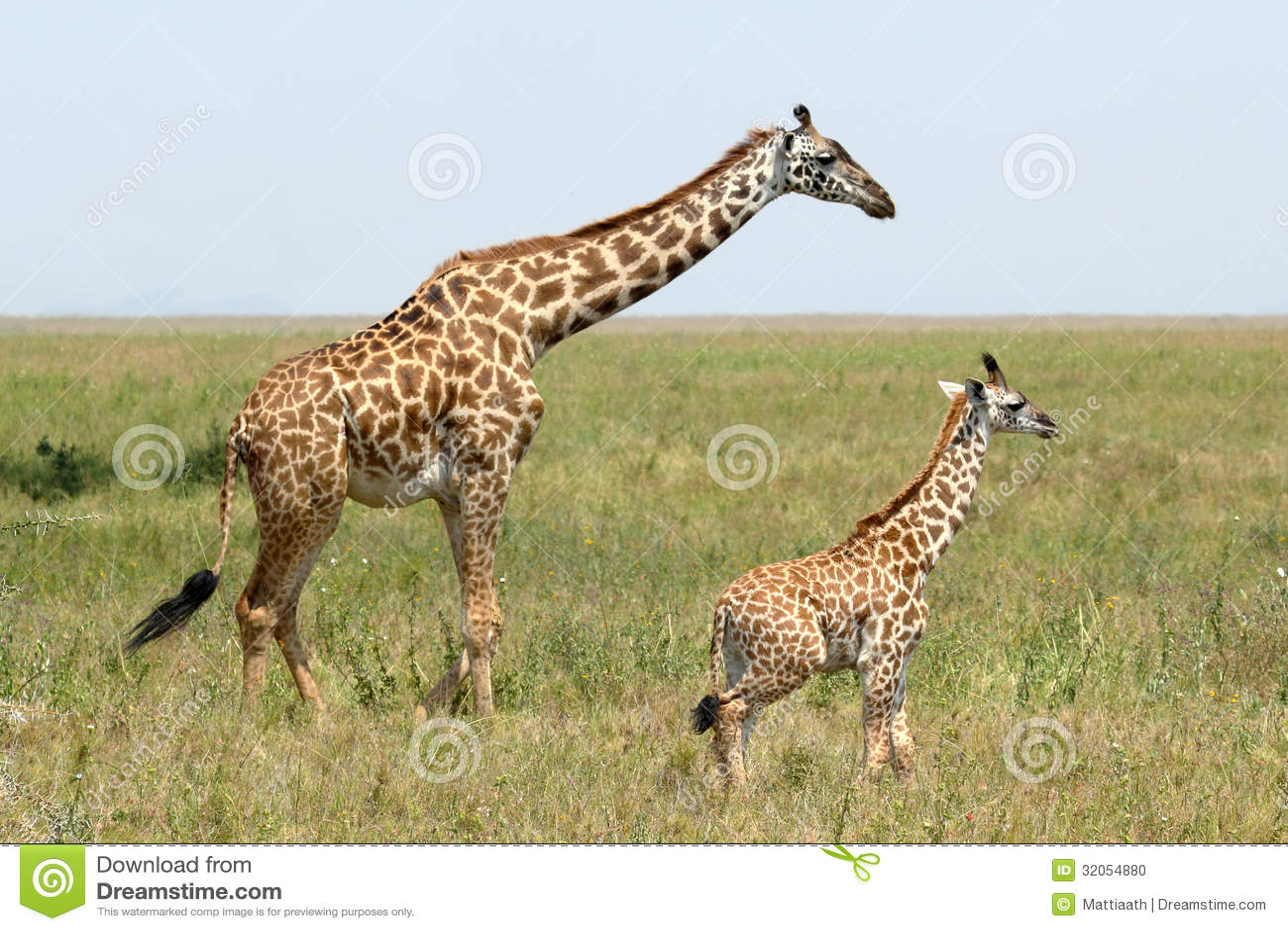 Baby Giraffe And Mother Stock Photo Image Of Giraffe 32054880