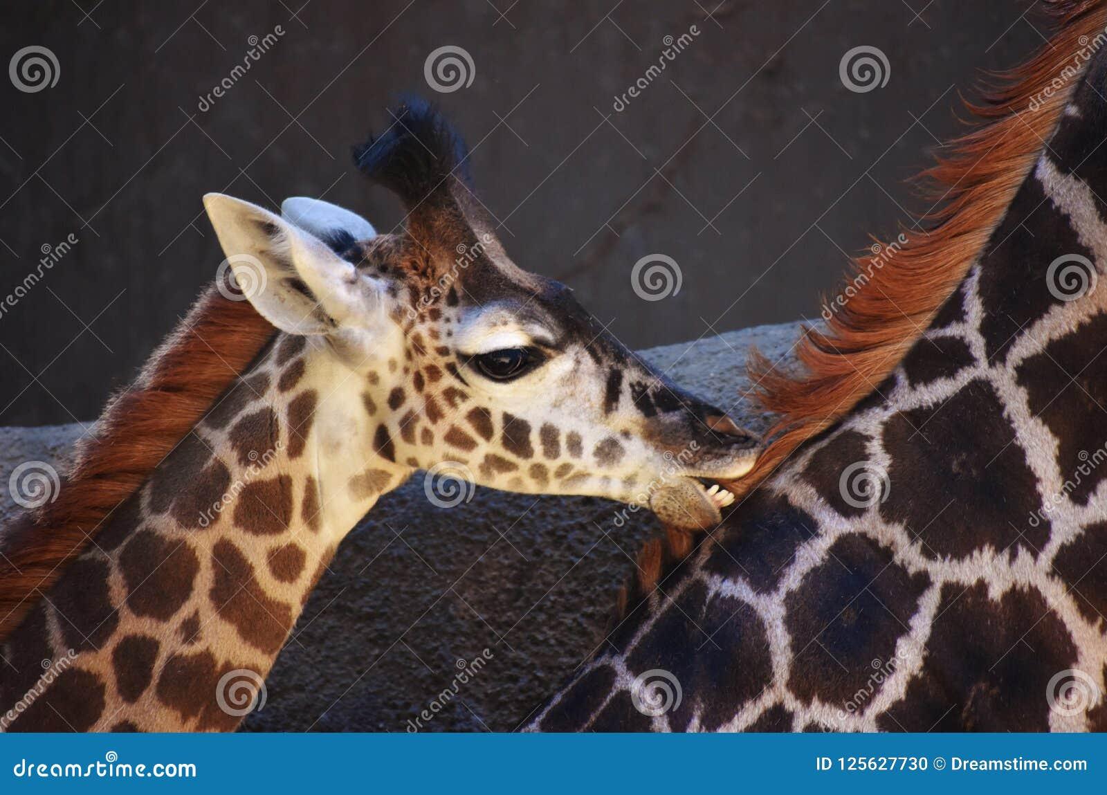 Baby Giraffe Teething