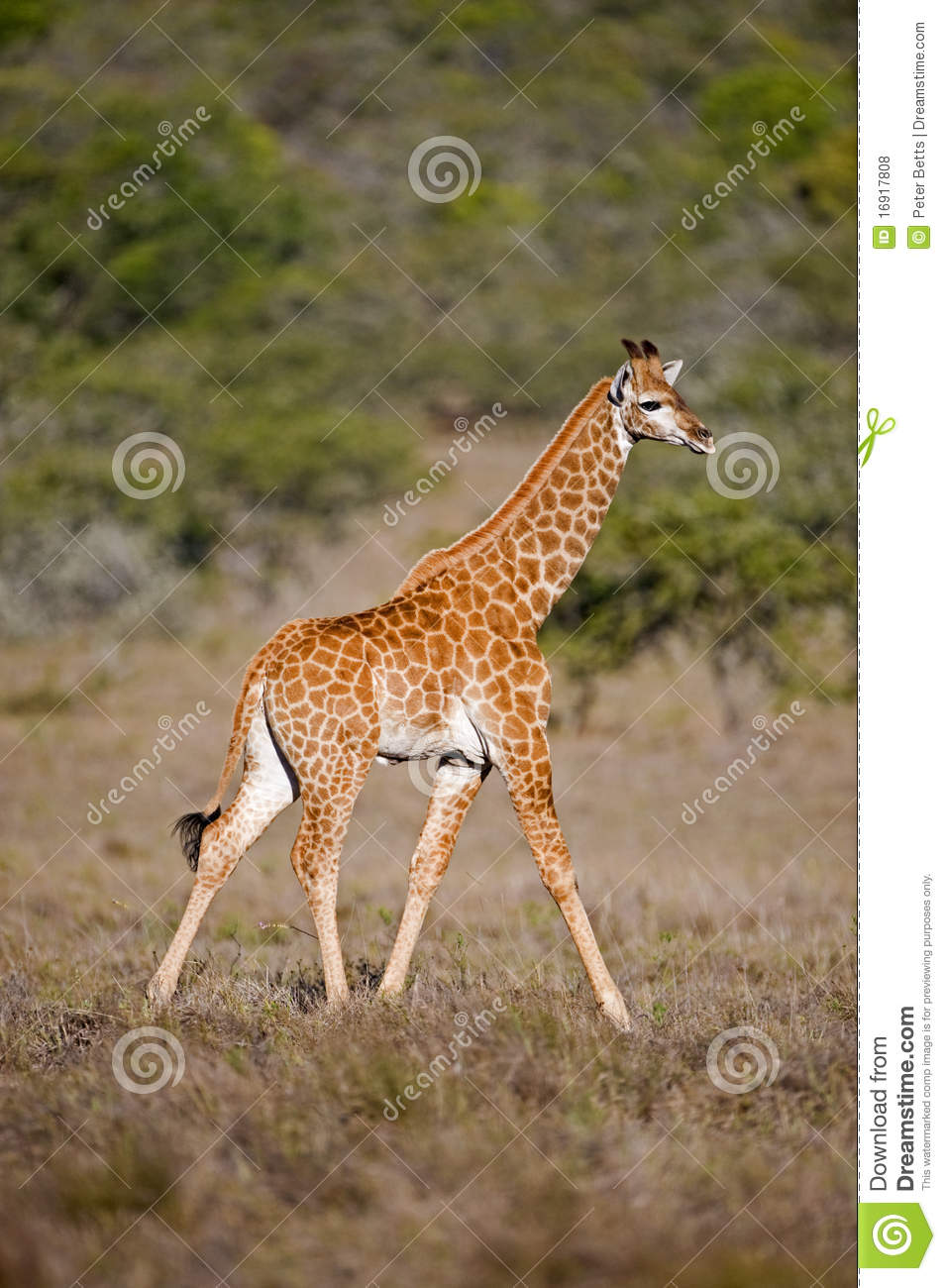 Before Mating the Female Giraffe Will First Urinate in