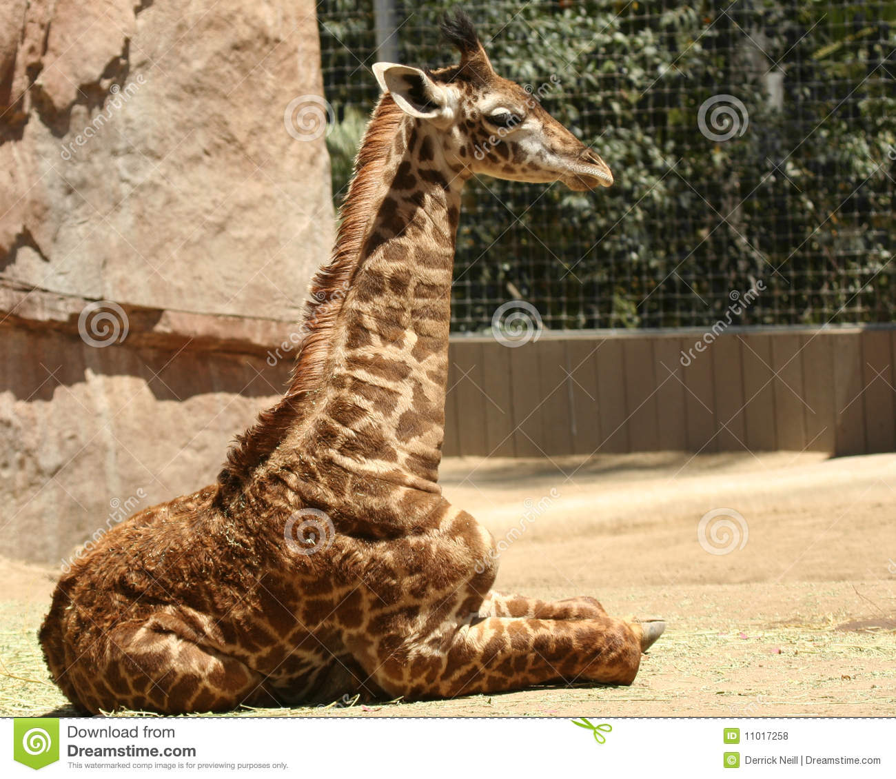 A Baby Giraffe in a Zoo