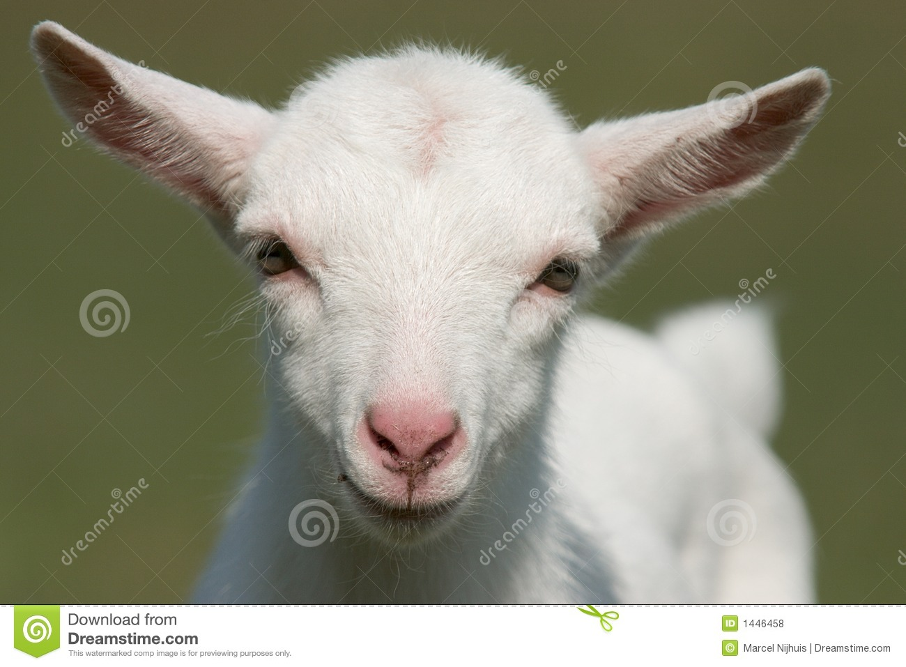 Baby Goat Royalty Free Stock Photos - Image: 1446458