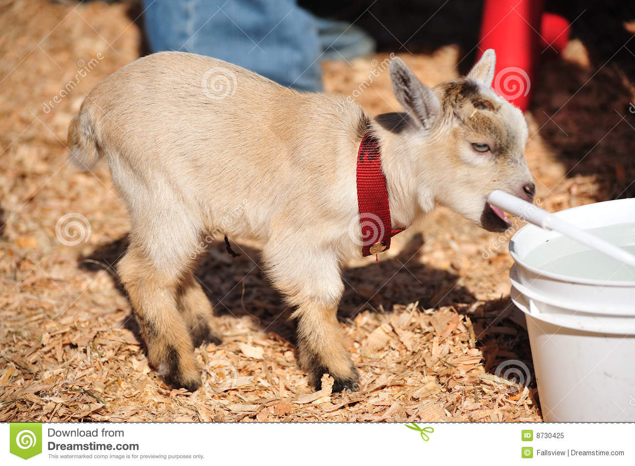 Baby Goat Royalty Free Stock Photo - Image: 8730425