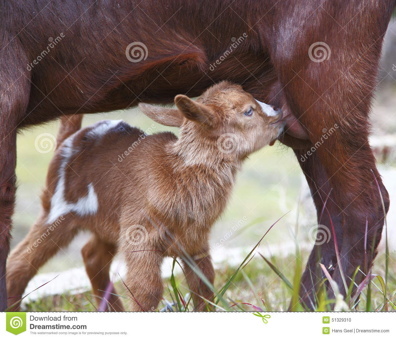 Baby Goat Drinking Milk Stock Photo Image Of Cute Meadow