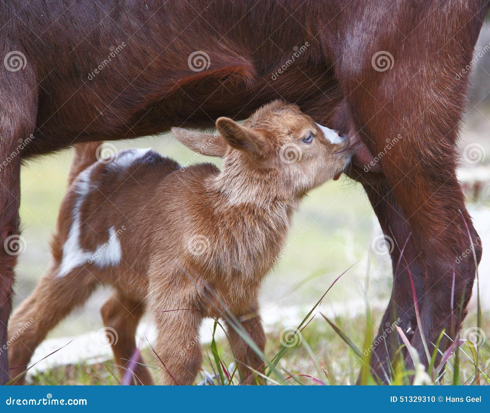 Baby Drinking Goats Milk