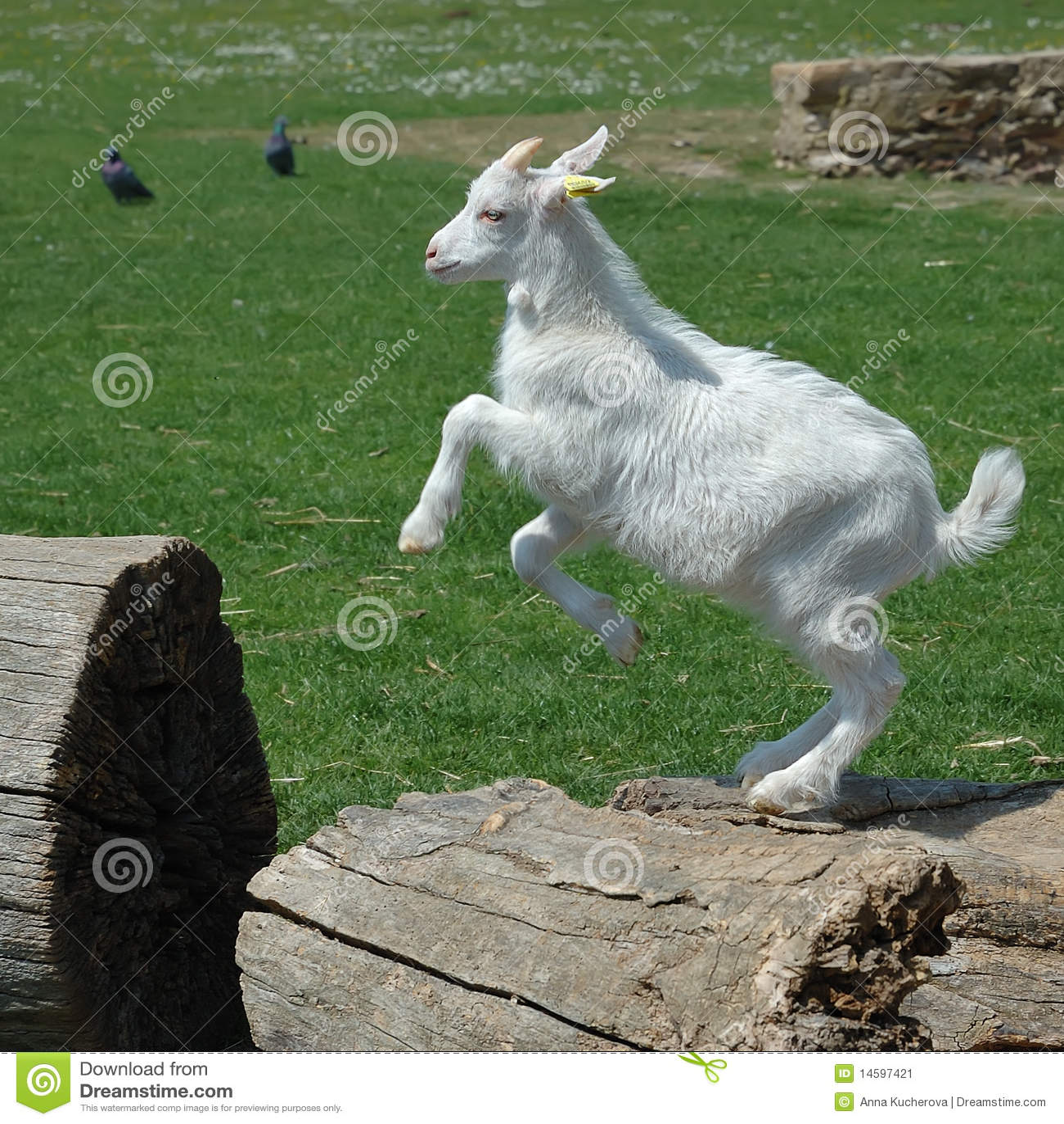 White baby goat jumpin...