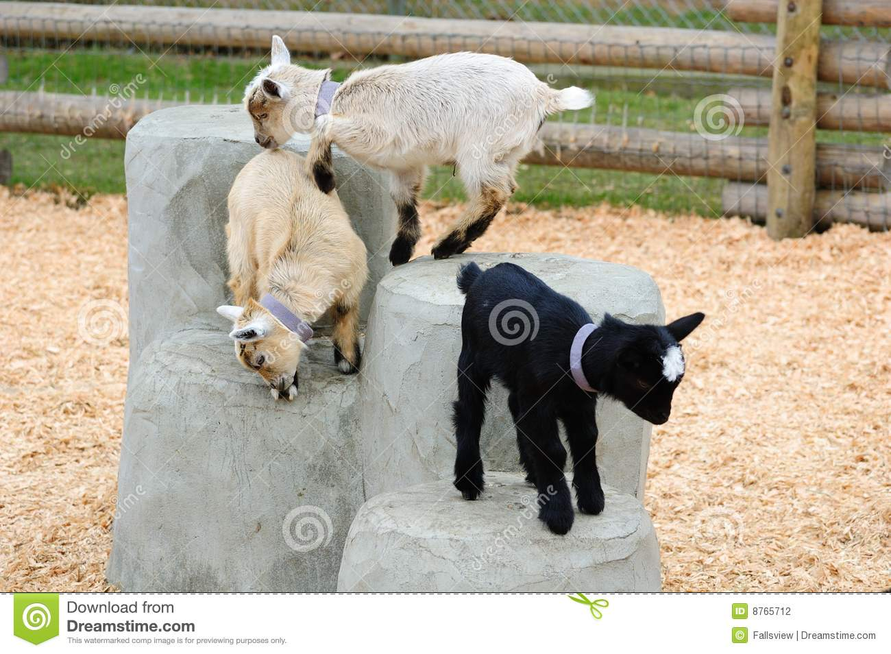 Baby Goats Playing Stock Photography - Image: 8765712