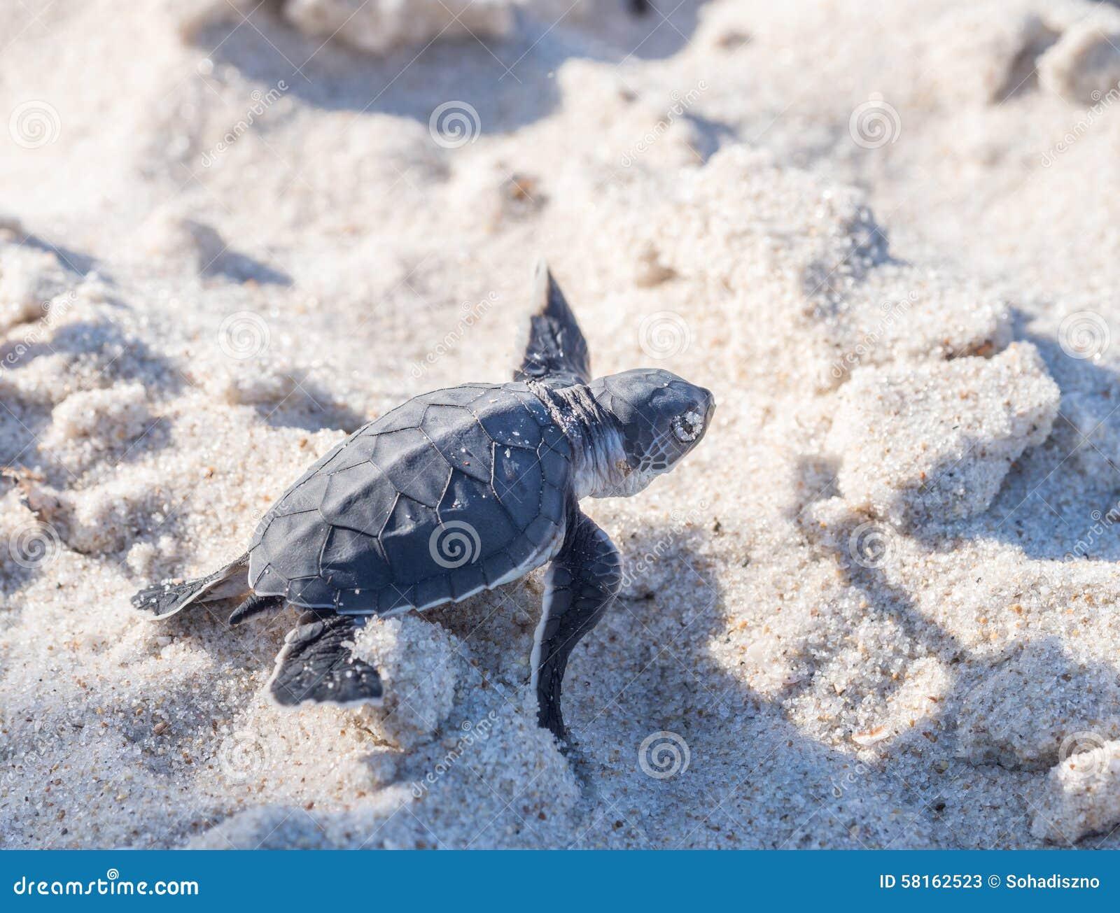 Baby Green Sea Turtle Stock Photo - Image: 58162523 - photo#24