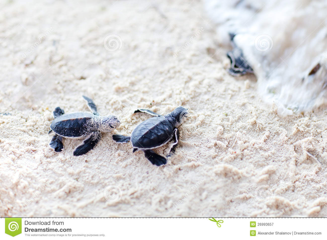 Baby Green Turtles Royalty Free Stock Photography - Image: 26993657