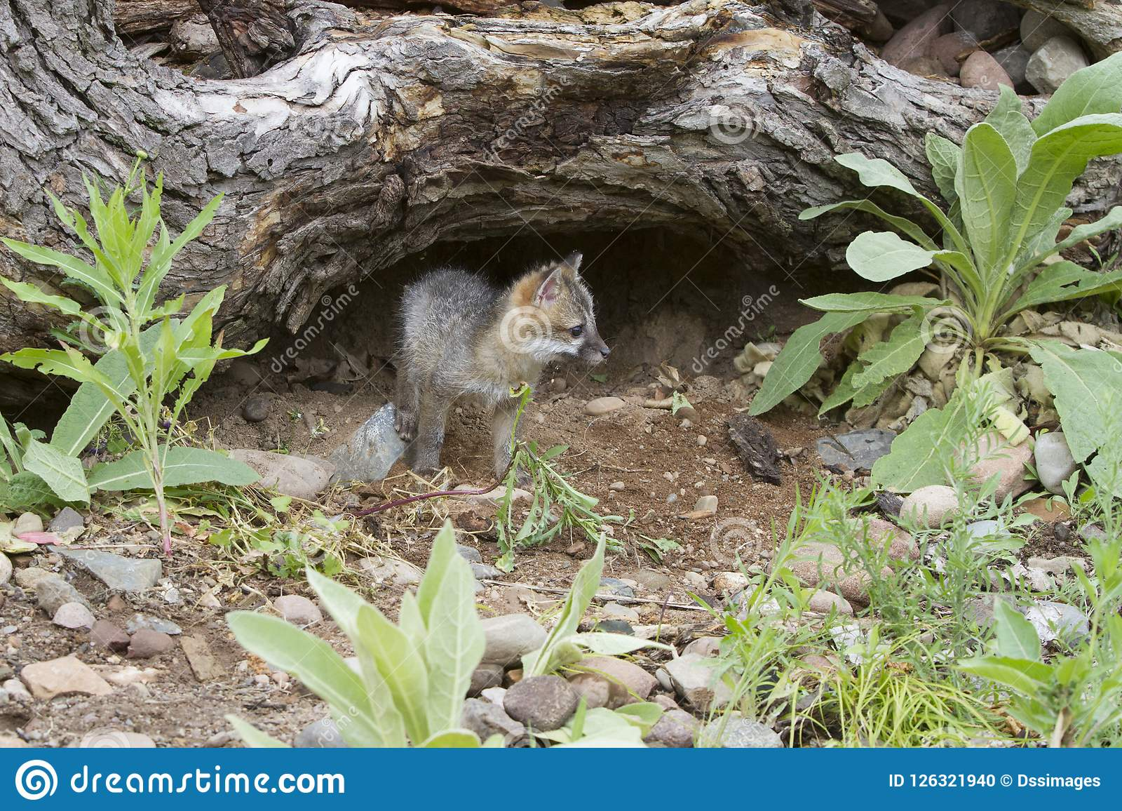 Baby Grey Fox Exploring Near its Den