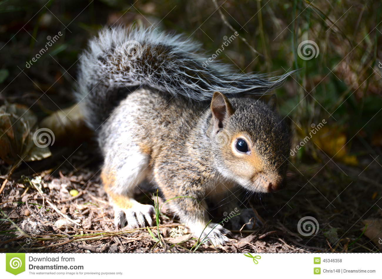 A baby grey squirrel
