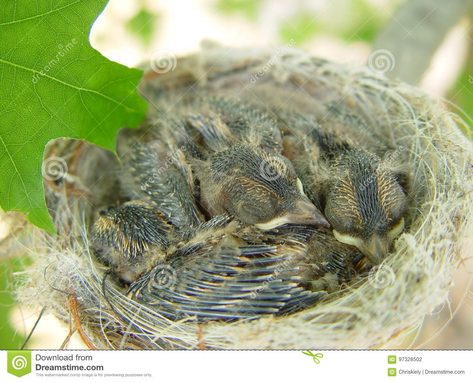 Baby Grossartige Feenhafte Zaunkonige Im Nest Stockfoto Bild Von