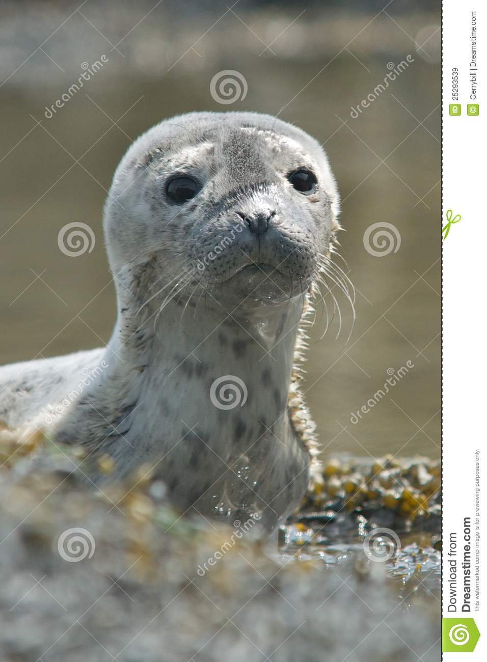 Newborn Harbor Seal | Wallpapers Background