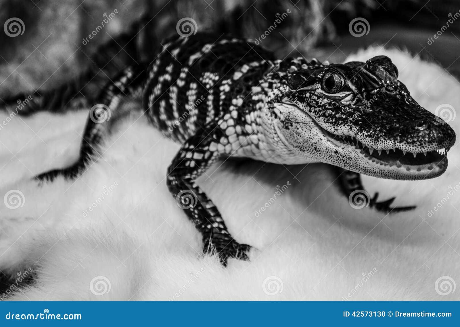 Baby Haustier Alligator Stockfoto Bild Von Krokodil 42573130