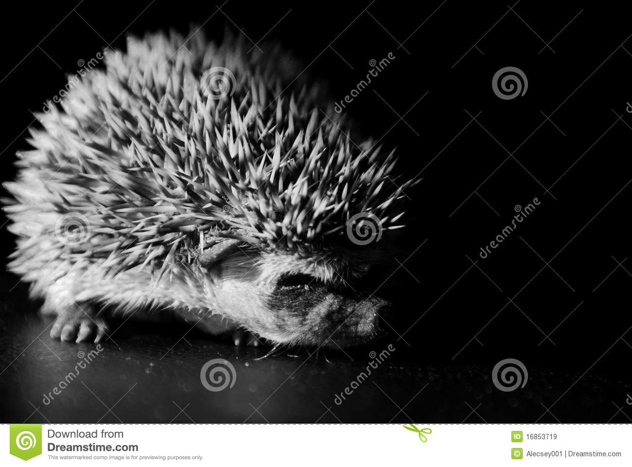Baby Hedgehog In Black And White Stock Image - Image: 16853719 Mammals Clipart Black And White