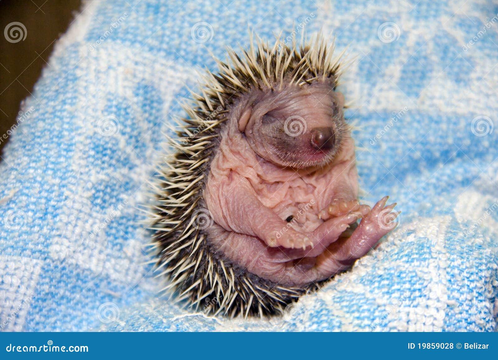 Baby Hedgehog (Erinaceus roumanicus)