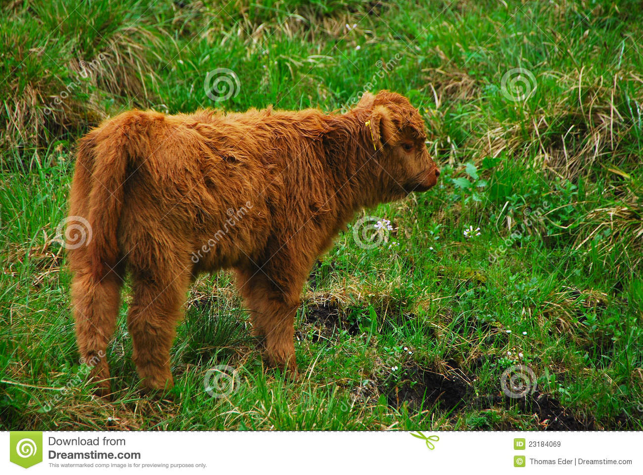 Baby highland cow - photo#27
