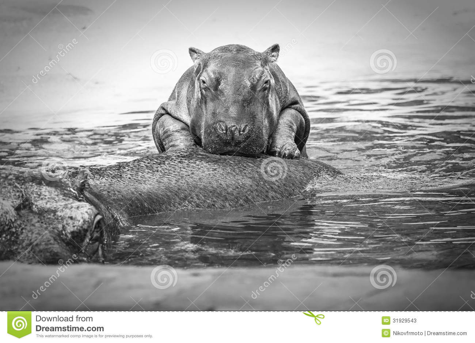 Stock Photos  Baby hippo   black and white  Hippopotamus Black And White