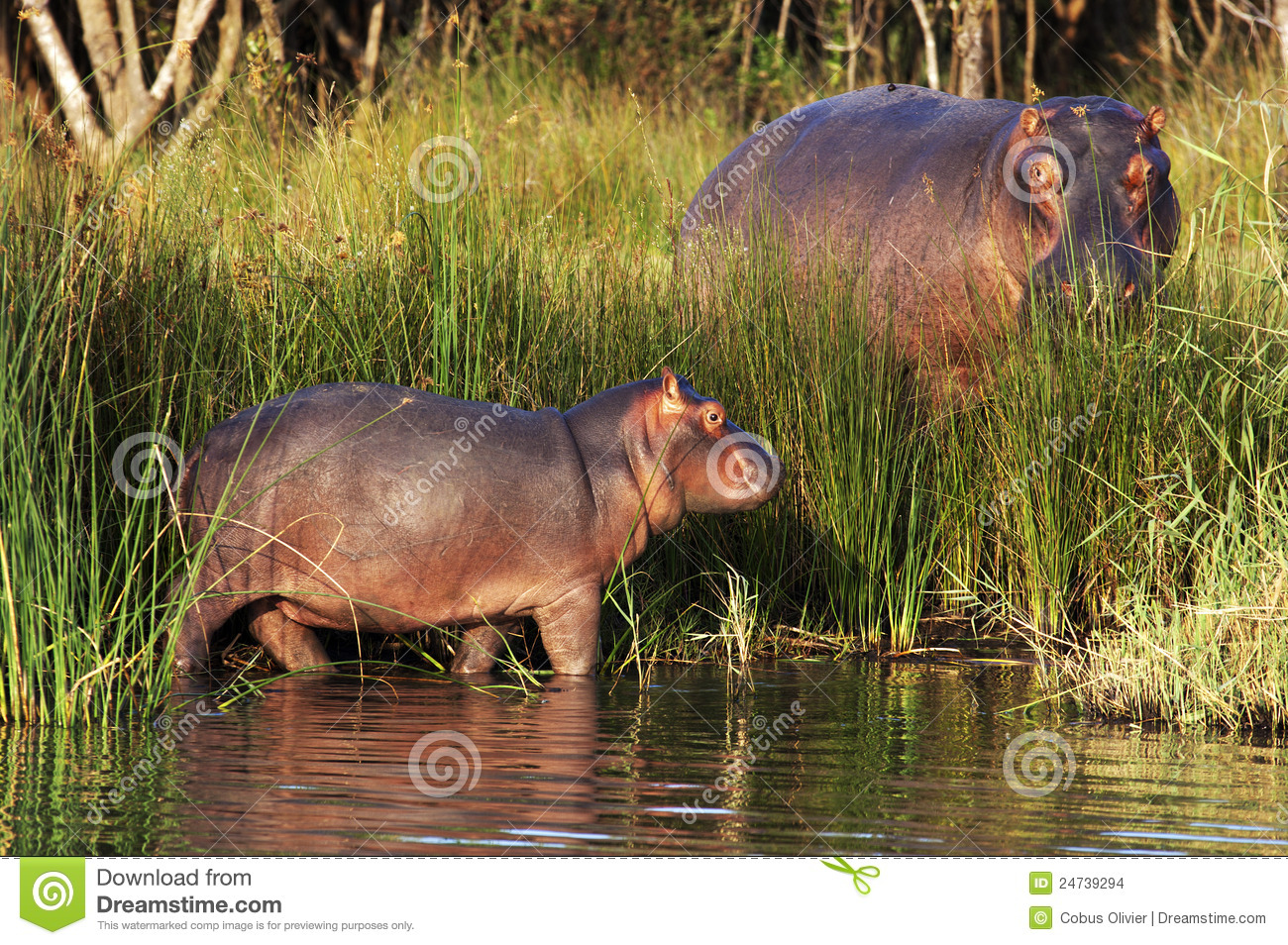 Baby hippo and bull by lake