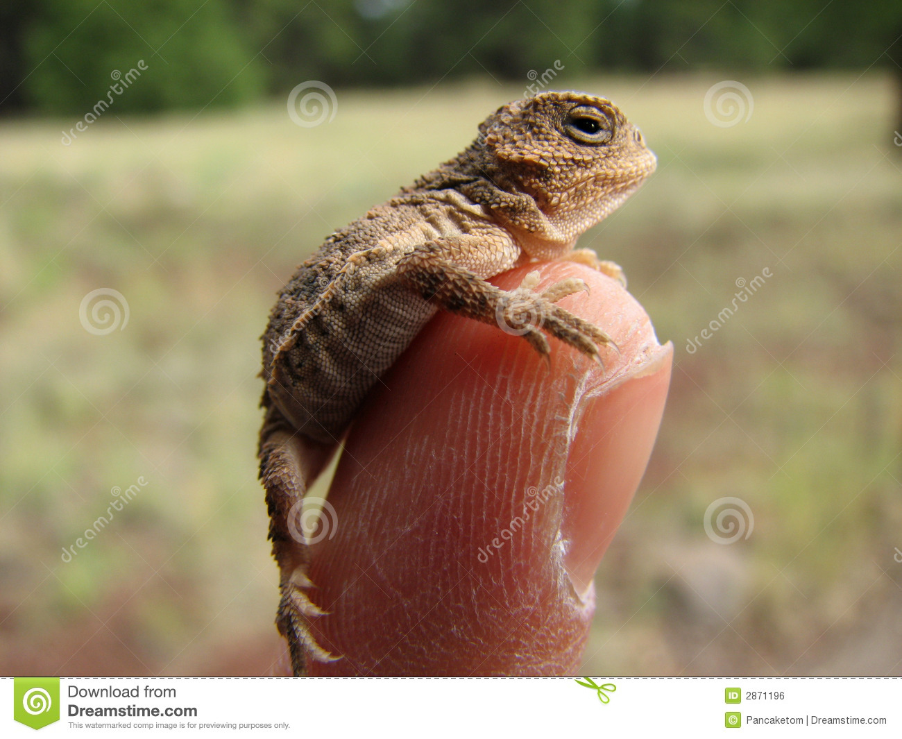 Baby Horned Lizard On Finger Royalty Free Stock Image - Image: 2871196