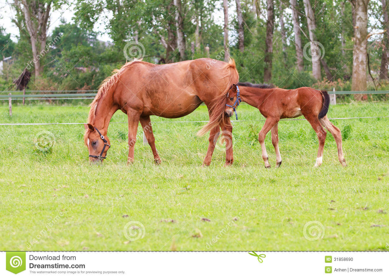 how to tell if a mare is in foal