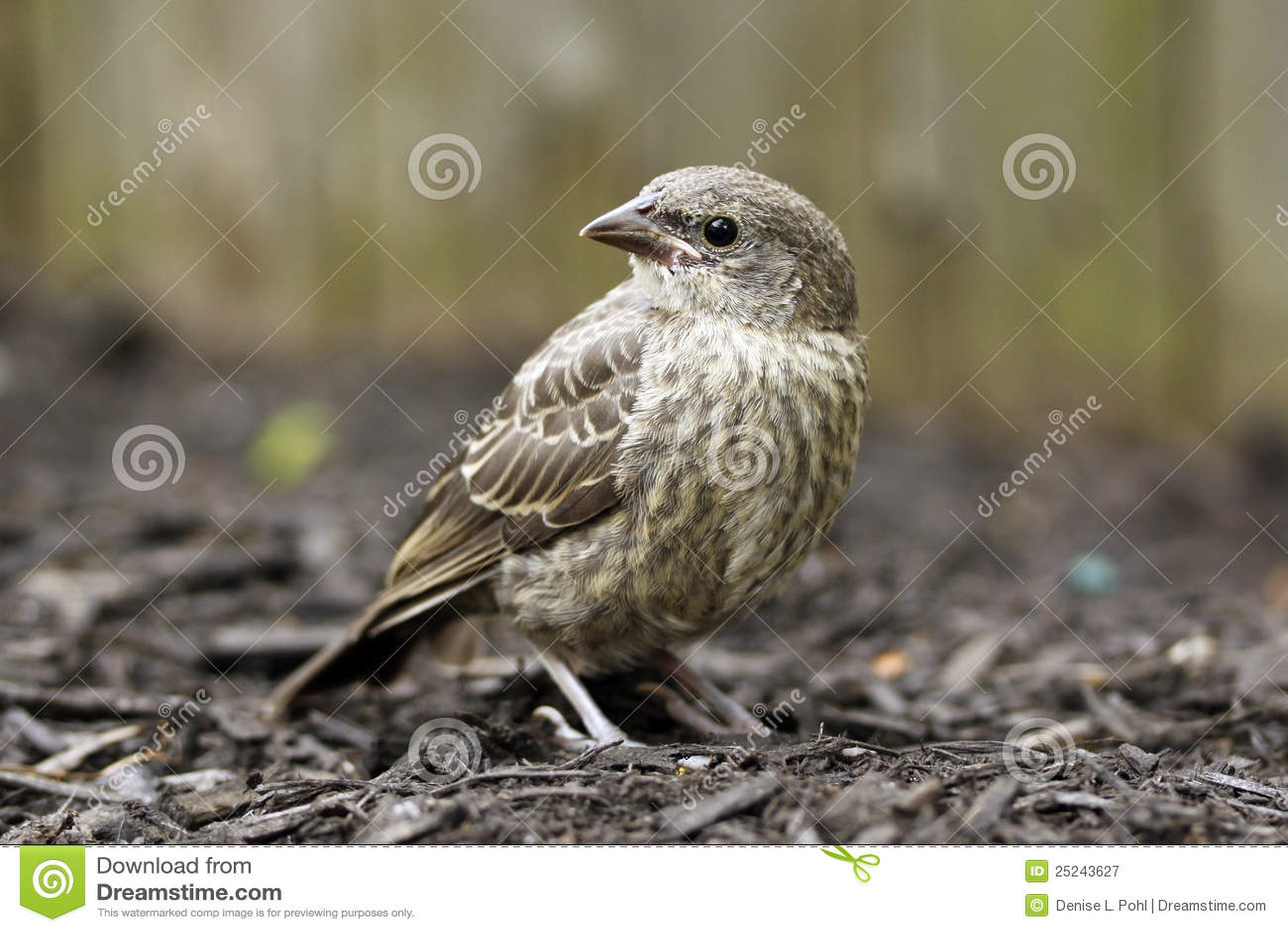 Baby House Finch Bird ...
