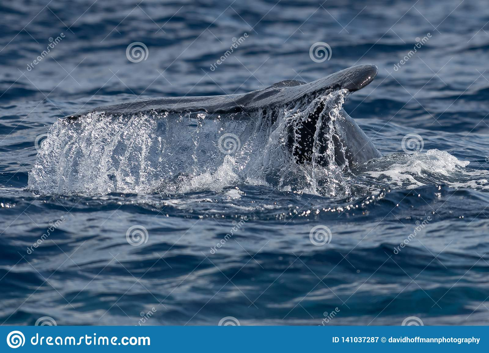 Baby humpback whale tail fluke near Lahaina in Hawaii. Maui, Lahaina, Winter