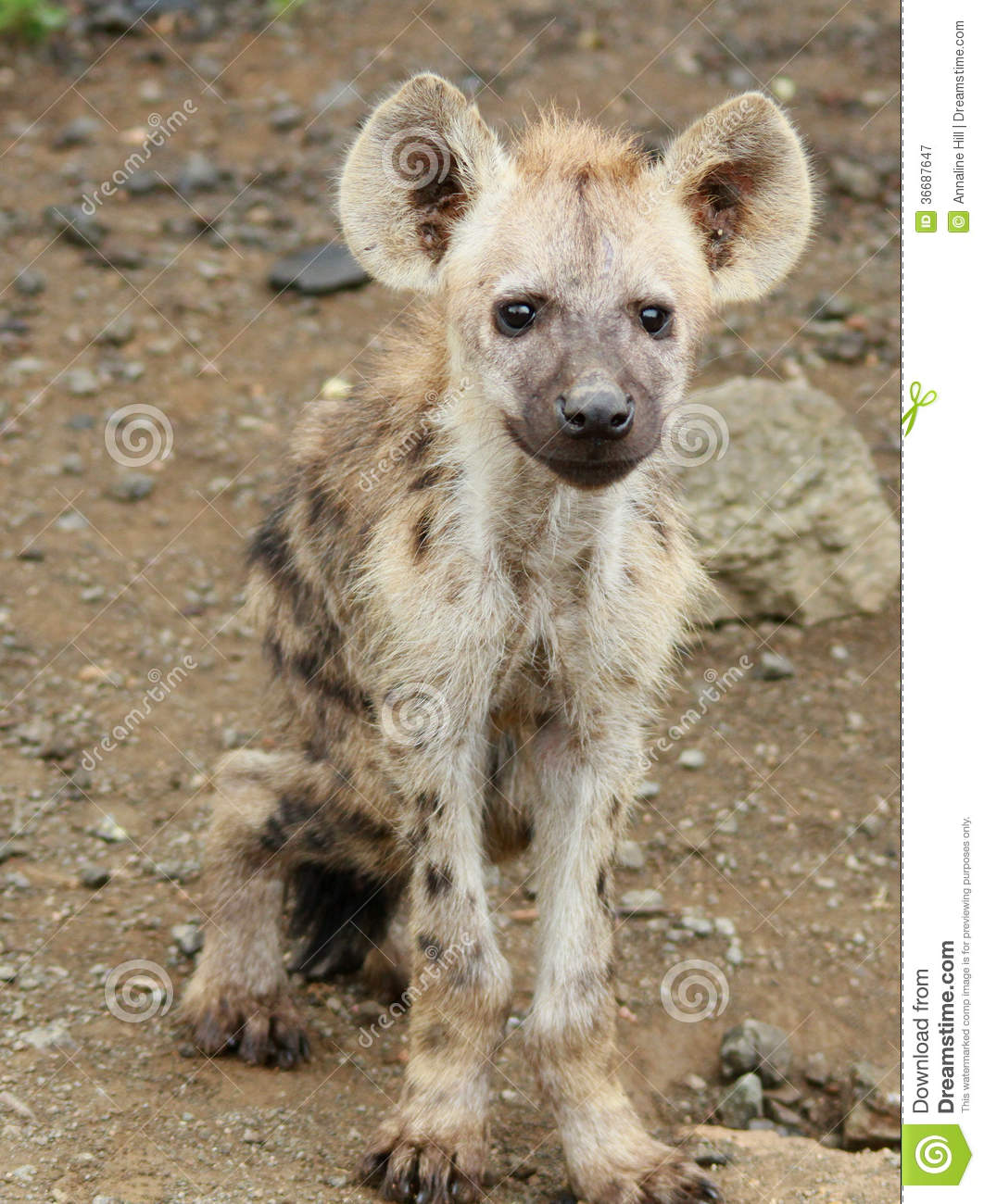 Baby Hyena: Baby Hyena Stock Image. Image Of Africa, Crooked, Clumsy