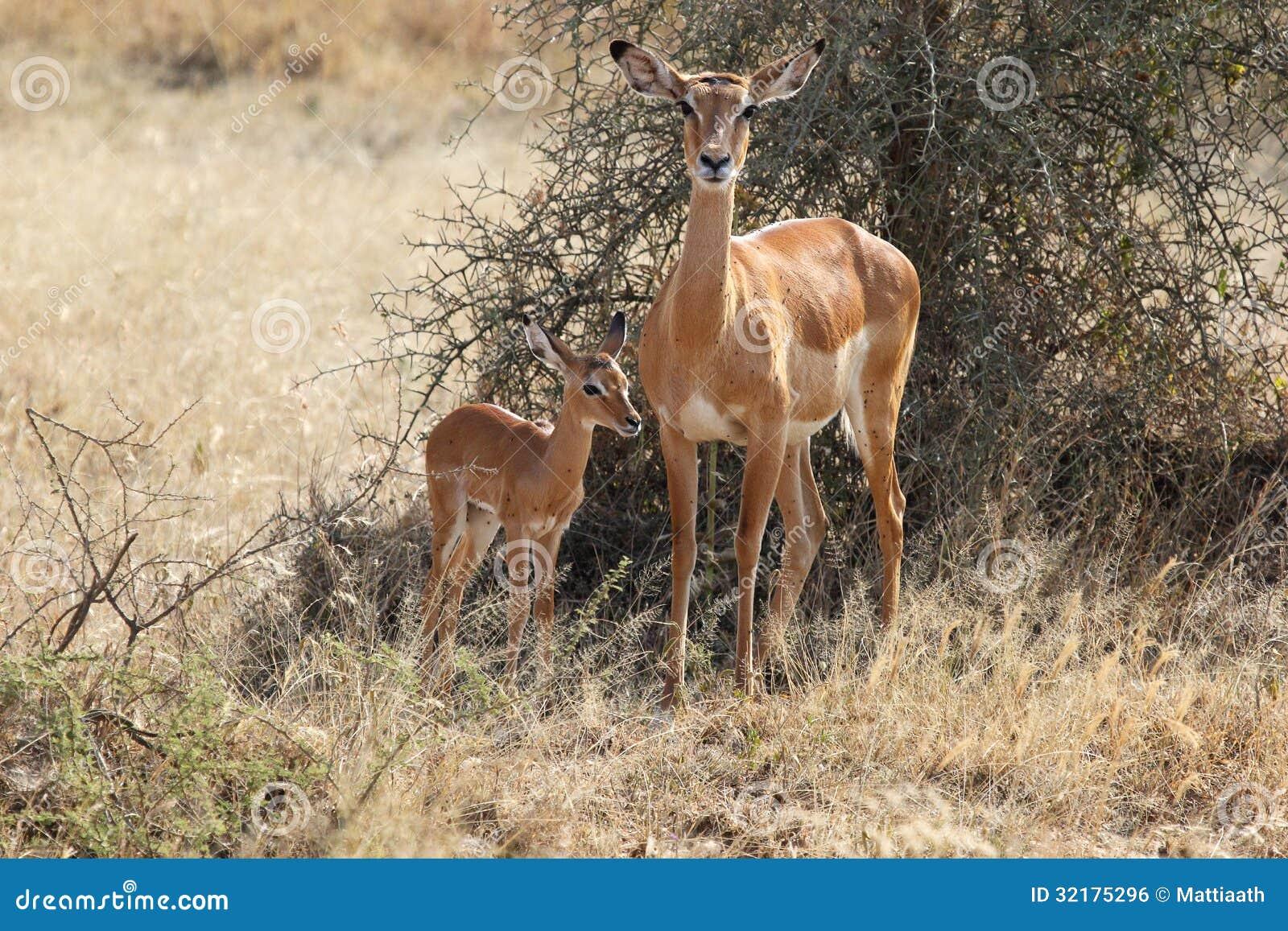 Baby Impala Animal | w...