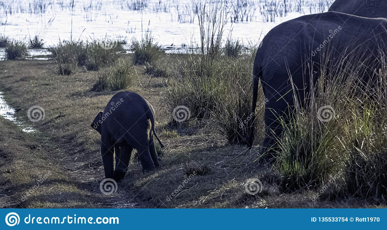 Baby Indian elephant with Ramganga Reservoir in background - Jim Corbett National Park, India