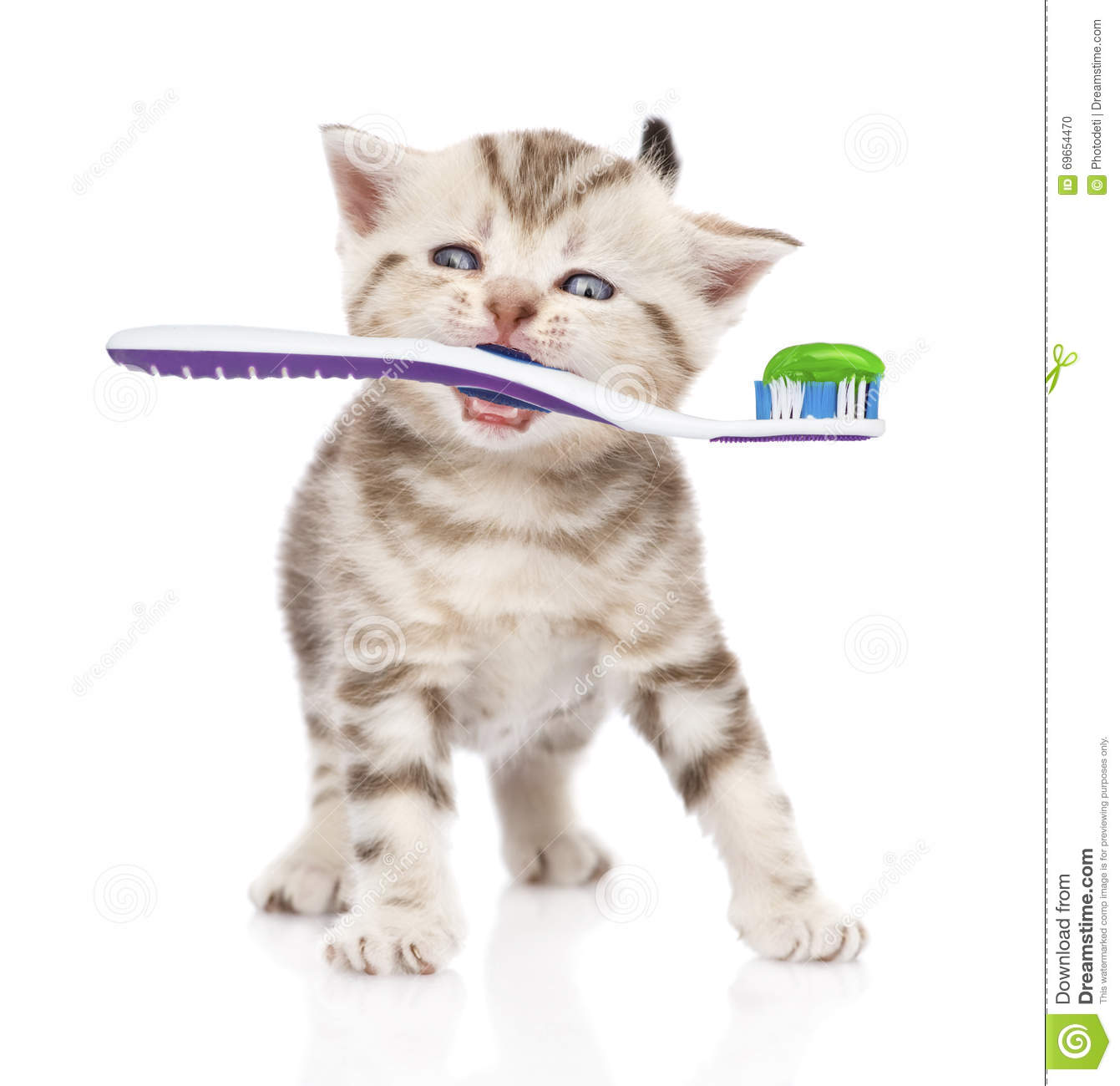 baby kitten with a toothbrush isolated on white background stock
