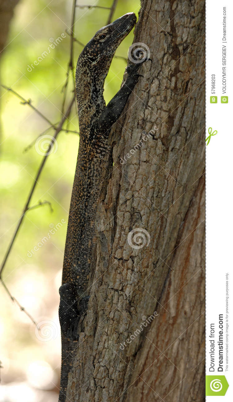 Baby Komodo Dragons In Trees