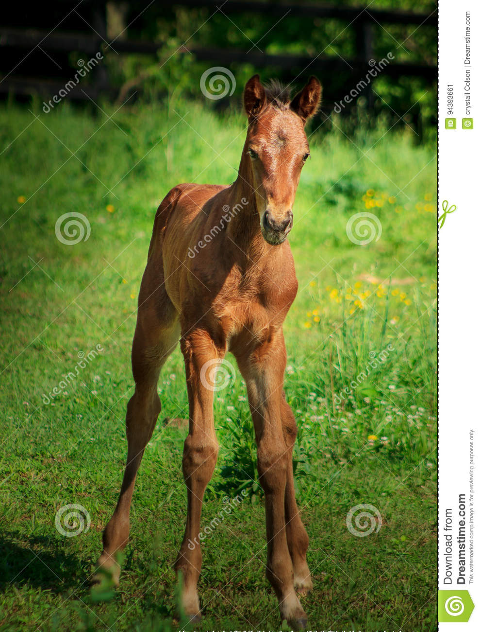 Baby Ky Horse Stock Image Image Of Mammal Colt Flowers 94393661