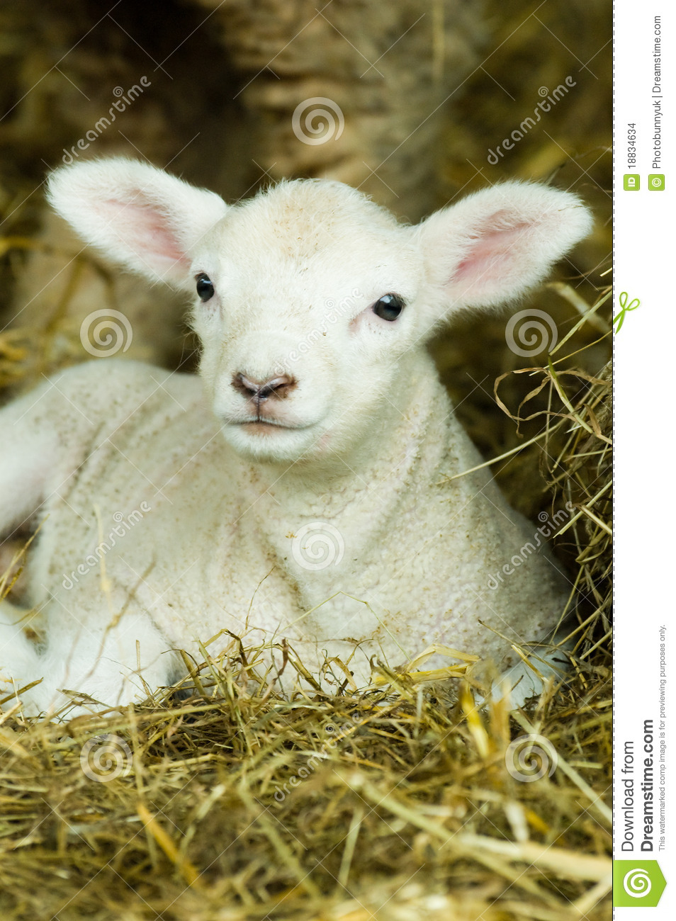 BAby Lamb Stock Images...