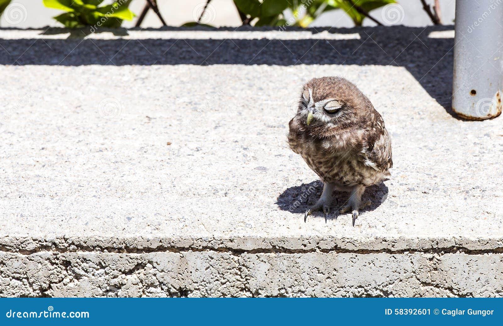 Baby Little Owl Sleeping Stock Image Image Of Bill Feather 58392601
