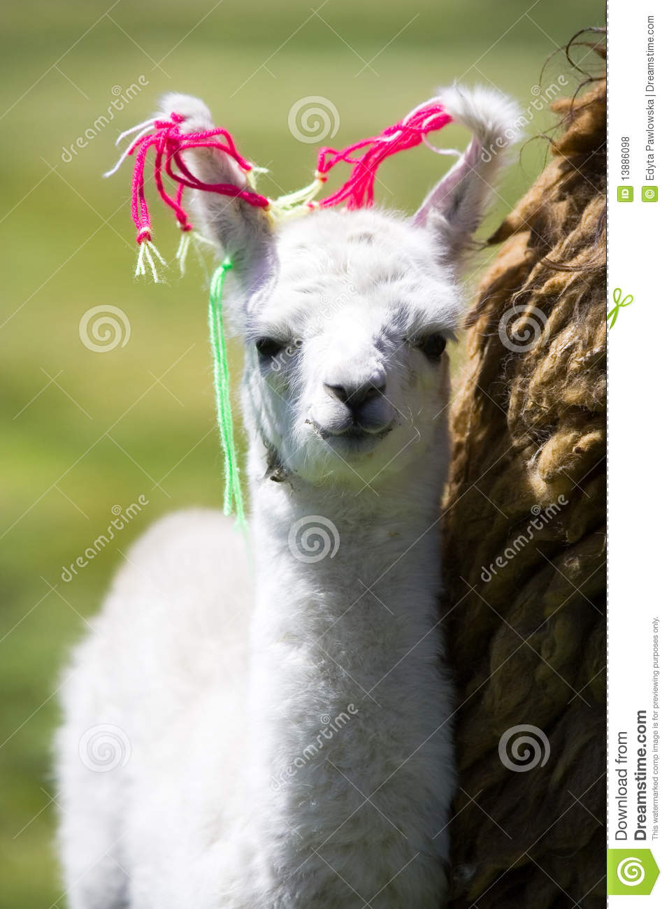 baby llama  bolivia royalty free stock photos