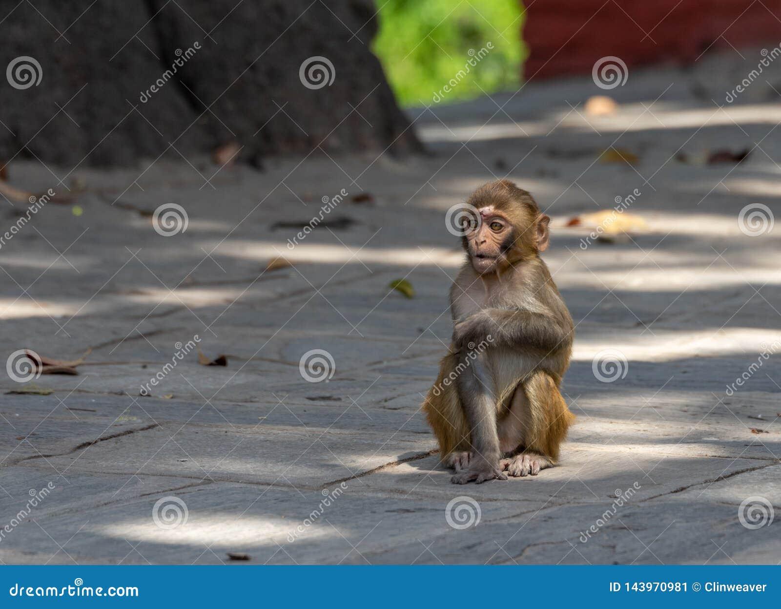 Baby Macaque or Macaca