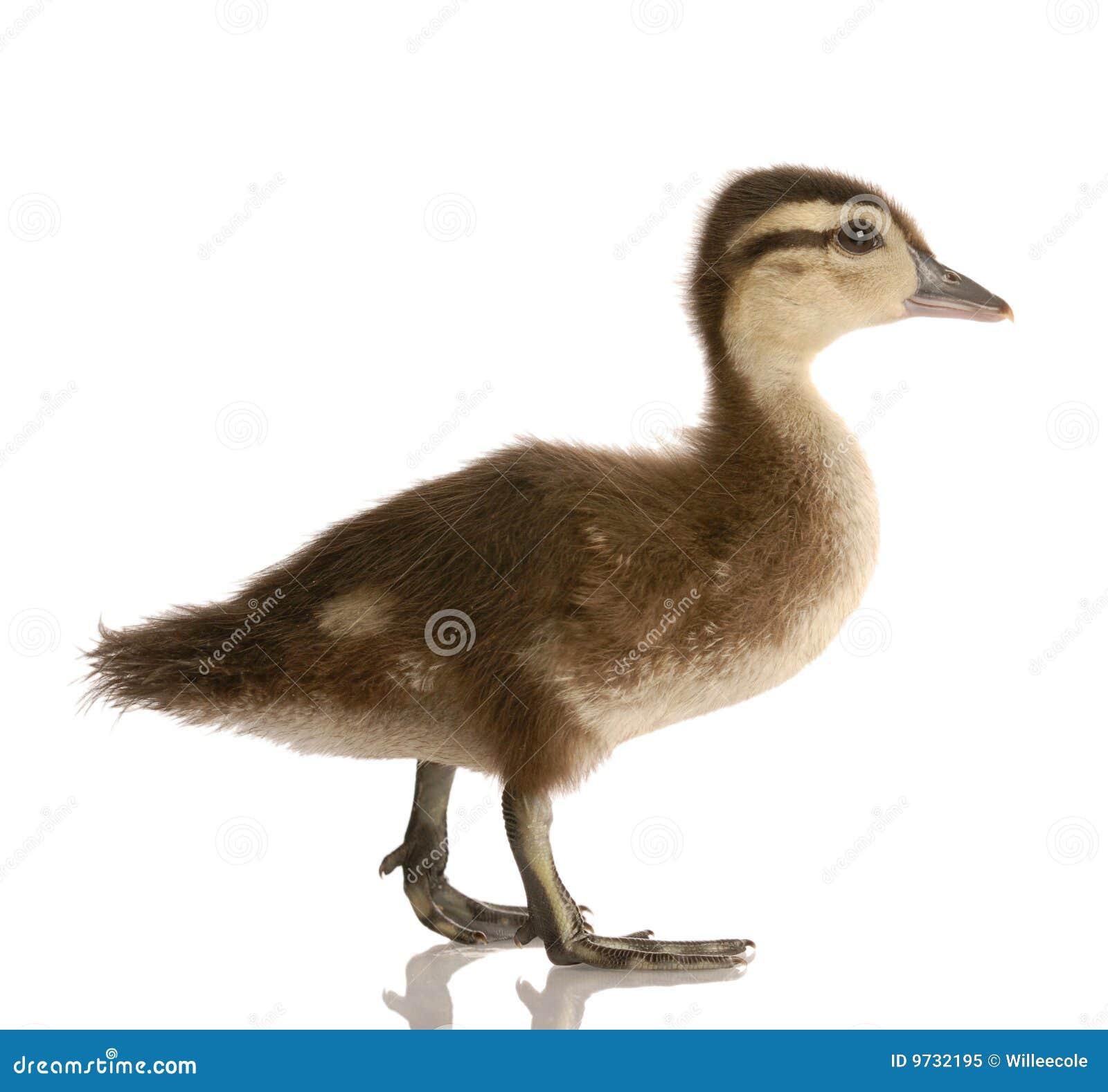 Baby mallard duck stock image. Image of wing, duckling - 9732195