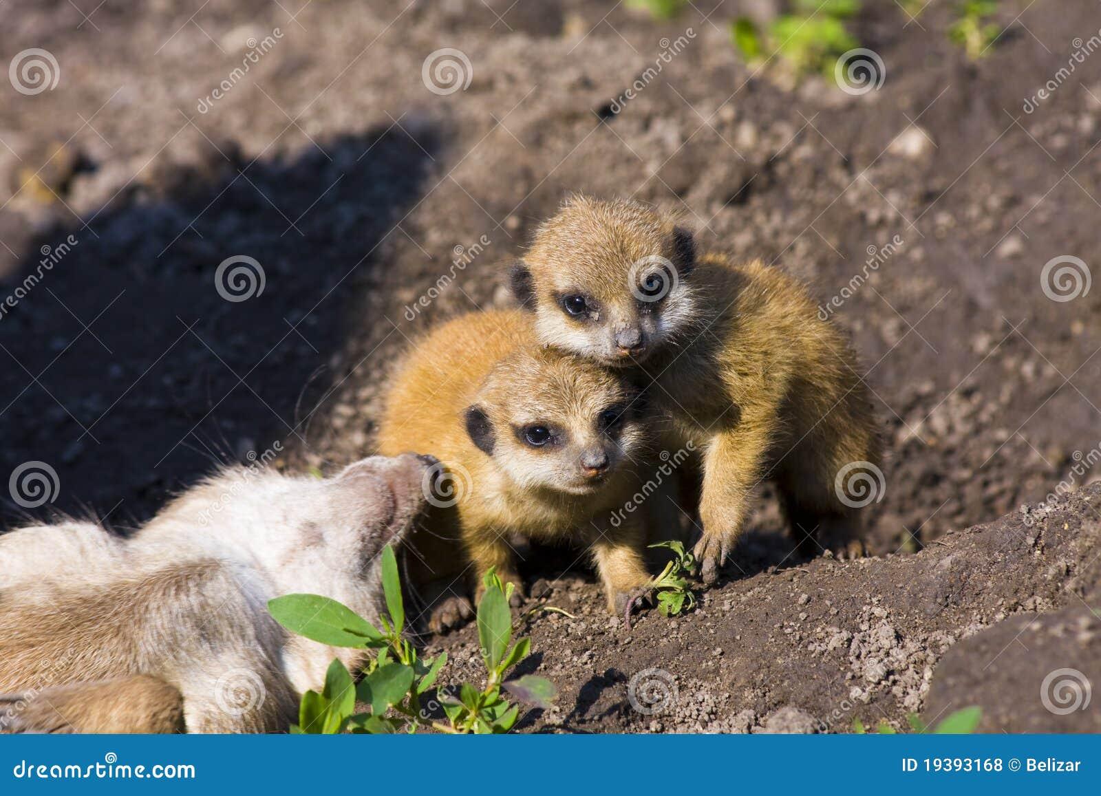 Baby meerkats (Suricata suricatta)