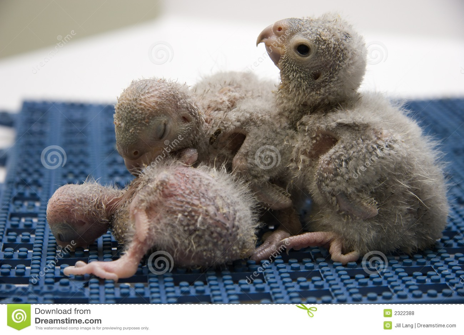 Baby Meyer s Parrots