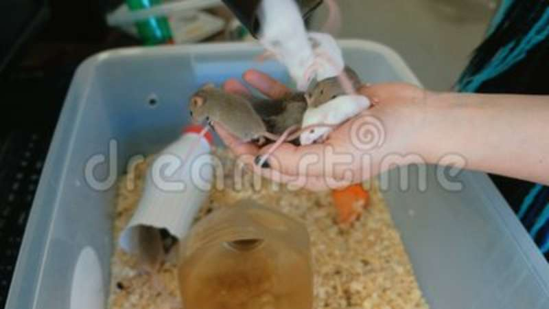 Baby mice in woman`s hand in lab