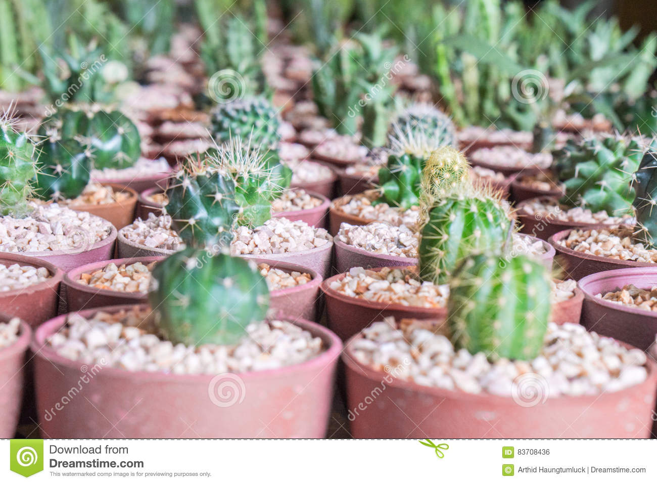 Baby Mixed Cactus Among Other Cactus In A Pot In Cactus Farm Stock Illustration