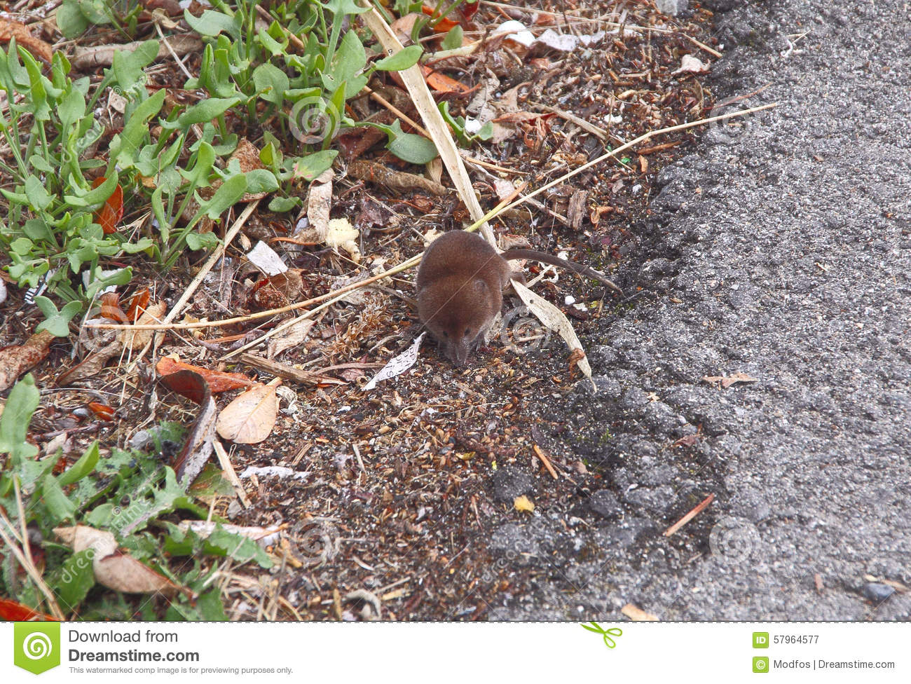 Baby Mole Stock Image Image Of Young Brown Baby Tiny 57964577