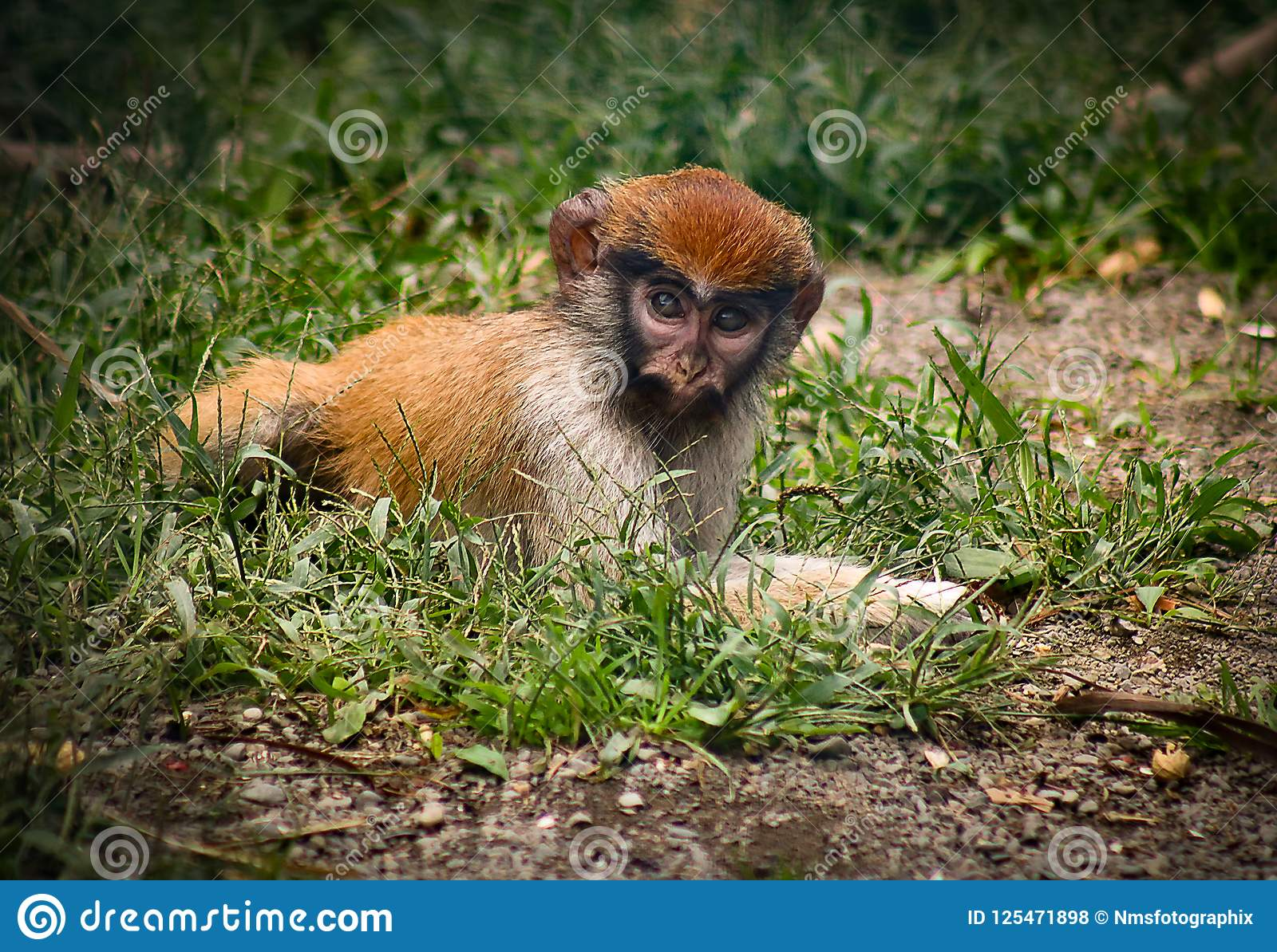 Baby monkey laying in the grass in captivity with red head