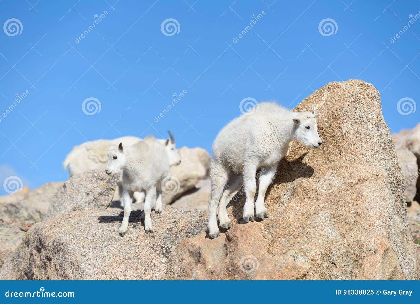 Baby Mountain Goat - Mountain Goats In The Colorado Rocky ...