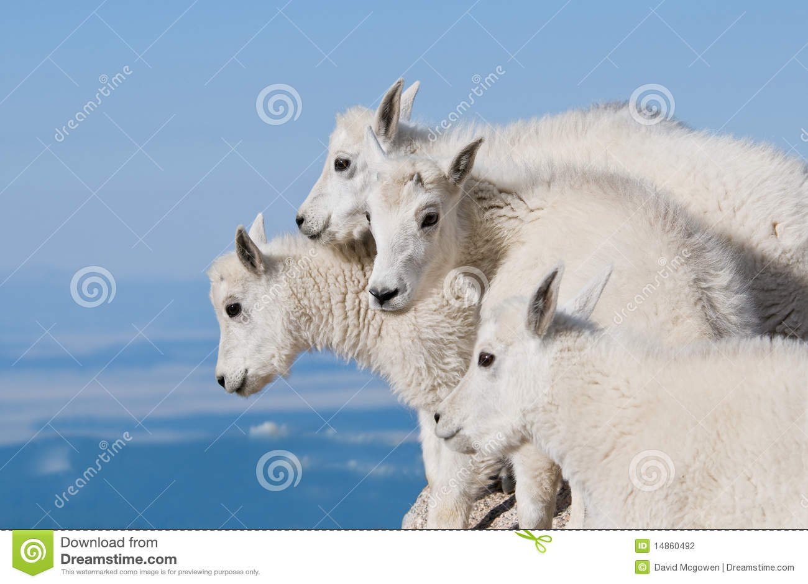 Baby Mountain Goats