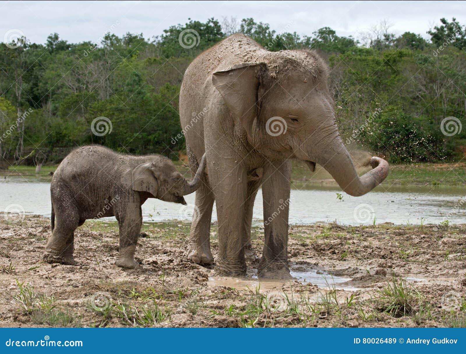 Baby with mum of the Asian elephant. Indonesia. Sumatra. Way Kambas National Park.