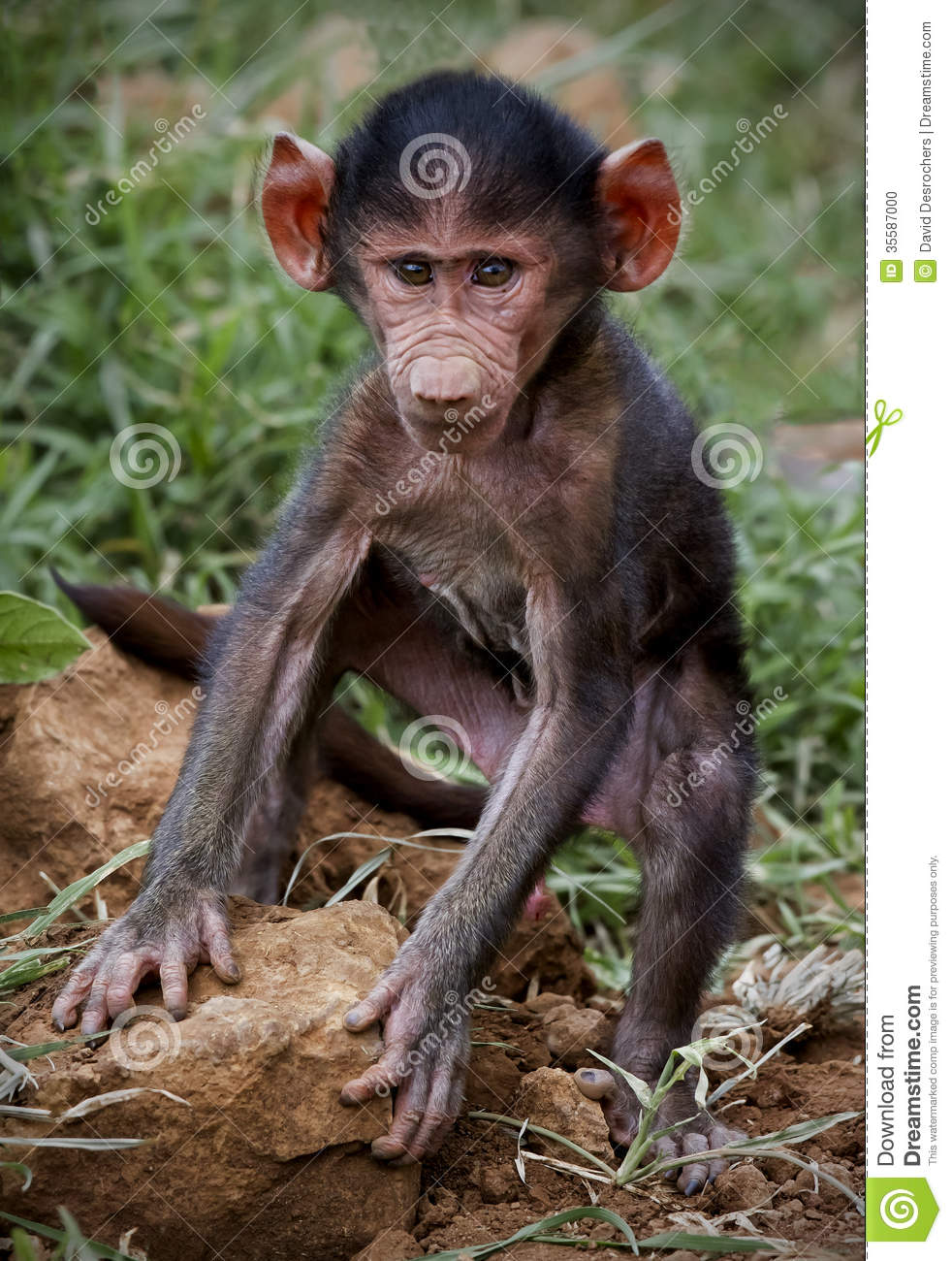 African Baby Baboon Images & Pictures - Becuo