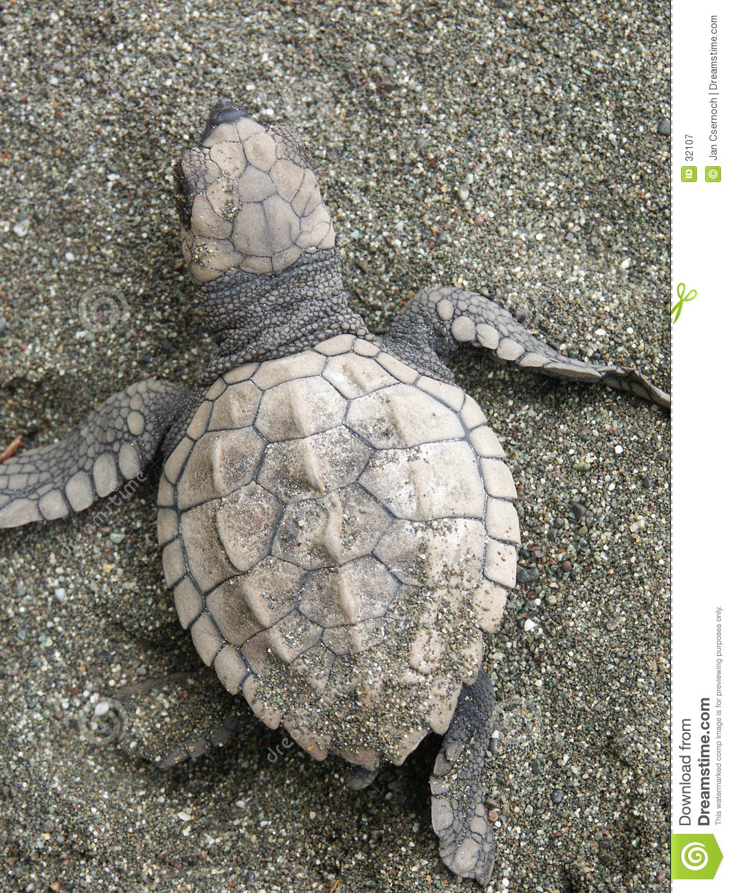 Baby Olive Ridley sea turtle