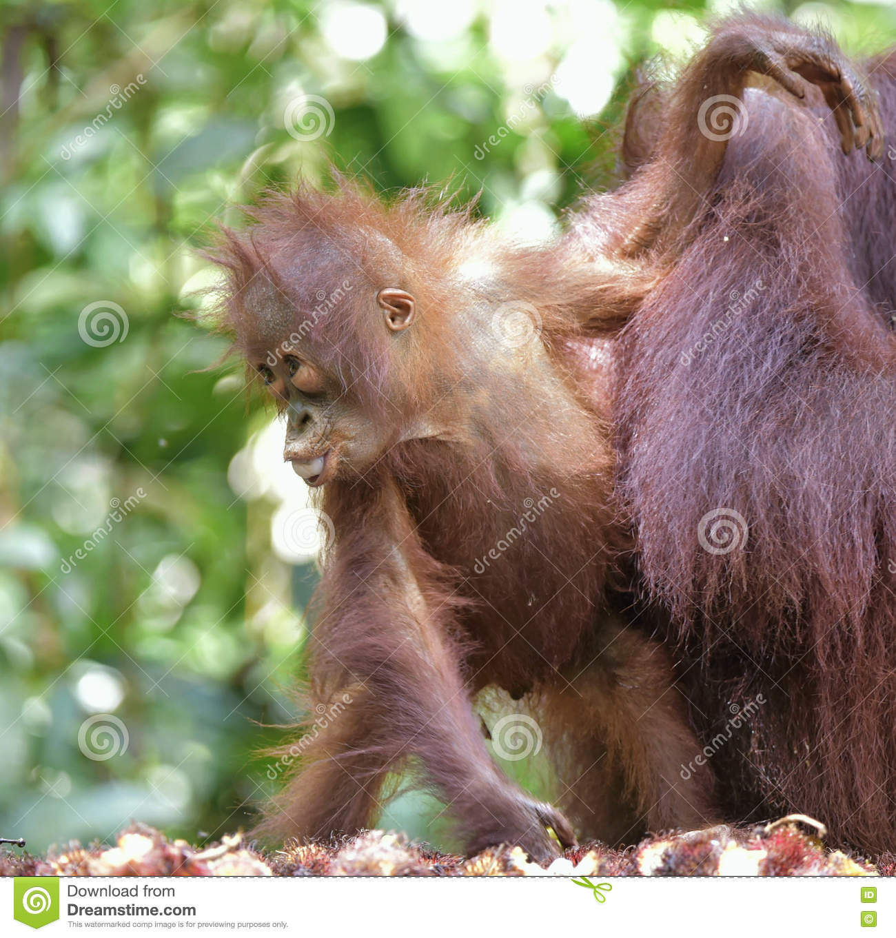 analysis of the orangutan pongo pygmaeus But genetic analysis suggests that the mcconkey, k, 2005 bornean orangutan (pongo pygmaeus the mission of orangutan foundation international is to.